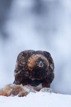 Golden Eagle_0000006094 by Carl Mckie / 500px Golden Eagle, Birds Of Prey, Bald Eagle, Owl, Animals, Animales, Animaux, Owls, Animal