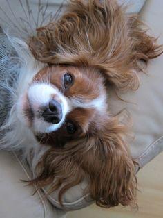 Mr. Waffles - Cavalier King Charles Spaniel luv those ears!!!