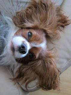 Mr. Waffles - Cavalier King Charles Spaniel    luv those ears!!!