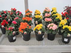 "WEEKLY SALE  May 21-25, 2013  6"" Begonias  reg. $5.50  NOW $4.50 Begonia, Pots, Retail, Spring, Pictures, Photos, Photo Illustration, Sleeve, Resim"