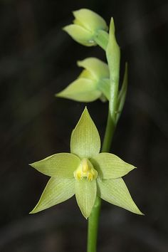 LEOPARD ORCHID..Thelymitra Benthamiana  These are spotless, very different to the usual leopard orchid different color formation  very nice to see