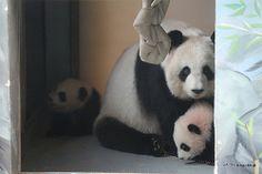 Happy Family- Lun Lun and her twin girls, Mei Lun & Mei Huan at Zoo Atlanta