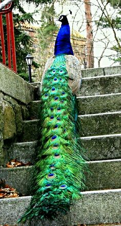 Exotic birds - Peacock                                                                                                                                                                                 More
