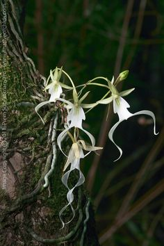 Ghost Orchid (Dendrophylax lindenii) - multi-flowered plant. Florida native