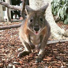 Red-Necked Pademelon - Australia