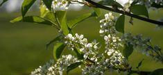 Czeremcha – właściwości i zastosowanie w ziołolecznictwie.  Przetwory z czeremchy Plants, Plant, Planets