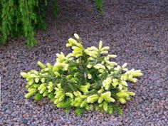 Picea abies 'Goblin' Evergreen Garden, Evergreen Shrubs, Trees And Shrubs, Trees To Plant, Outside Plants, Outdoor Plants, Unusual Plants, Exotic Plants, Shade Garden