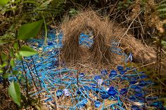 Bower Bird Nest - these collect object of a particular color, any color but stick to it,  to decorate the entrance