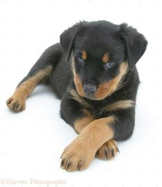 Rottweiler pup lying, paws crossed