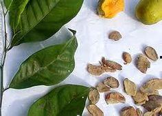 Nigerian food online Ogbonor #shikenanafrica #africanfood #africanshop #nigerianfood http://www.africanshop.shikenan.com/african-food/african-soup-ingredients/whole-ogbono-2oz