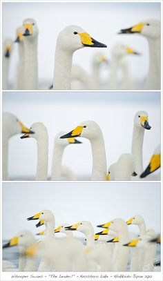 "Whooper Swans - ""The Leader!"" - Kussharo Lake - Hokkaido Japan 2012 by jensrudnick, via Flickr"