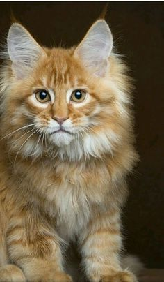 38 Trendy cats and kittens breeds maine coon dogs Pretty Cats, Beautiful Cats, Animals Beautiful, Cute Animals, Baby Animals, Funny Animals, Cute Kittens, Cats And Kittens, Ragdoll Kittens