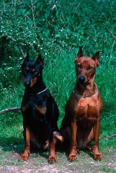 German Pinscher | Dog Breeds at myPetSmart.com