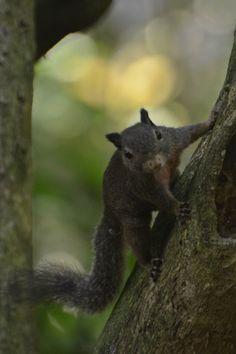 Celebes dwarf squirrel - Wikipedia