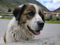 The Mucuchies (Venezuelan Sheepdog) is a dog breed from Venezuela (specifically from Sierra Nevada de Mérida). The origin of the Mucuchies, is believed to be descended from the dogs introduced by the Spanish conquerors at the end of the 16th century as watchdogs and herders.