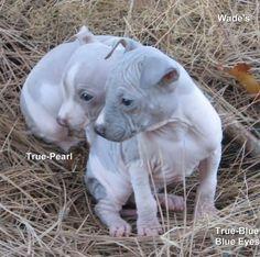 Two American Hairless Terrier Puppies | PunjabiGraphics.com