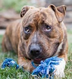 OREGON Ruby is a young, stunning gal with an abundance of energy and a brain as big as her large heart. She is head-turning pretty but her manners don't yet match her jaw-dropping good looks! She lacks formal training and has a habit of jumping on people...