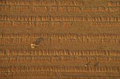 buğday tarlası fotoğraf myanmar