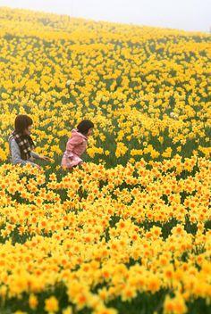 Full Bloom of Narcissus Flowers, Zao-cho, East Japan Miyagi 宮城県蔵王町の水仙