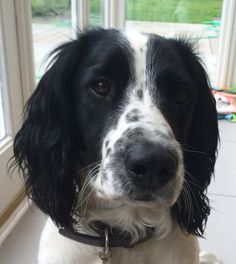 my springer - adore him