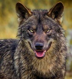beautiful-wildlife: Hello there … by Pedro Jarque KrebsIberian Wolf