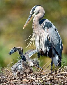 Blue heron and new chick in nest which is usually built at very top of trees mostly made out of tree branches.