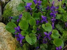 Photo : Viola odorata parmi les galets de Garonne et la mousse