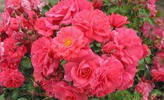 KORDES Rosen Bad Birnbach ® - Floribunda Roses - Complete assortment The most beautiful roses of the world Kordes Rosen, Floribunda Roses, Secret Garden Book, Gardening For Dummies, Beginners Gardening, Garden Images, Blooming Rose, Diy Garden Projects, Gardening Supplies