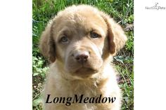 You'll love this Female Chesapeake Bay Retriever puppy looking for a new home.