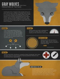 Infographic on wolves (lobo) Gray wolves #infographic
