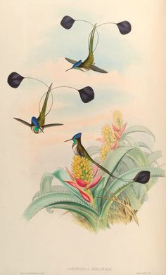 Marvellous Spatuletail by John Gould (1804-1881), 1861, Monograph of the Trochilidà (or family of humming-birds), Loddigesia mirabilis. #Hummingbirds