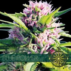 Buy top quality Cannabis Seeds from Seedsman. Our range of marijuana seeds is one of the largest online, with more than 3000 varieties of Cannabis Seeds. Cannabis Seeds Online, Indica Strains, Seeds For Sale, Tall Plants, Buy Weed, Herbs, The Originals, Harvest, Blueberry