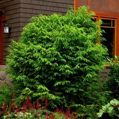 Canadian Hemlock (Tsuga canadensis):   Popular evergreen tree having a graceful, densely-branched form. Excellent when used for screening, groupings and accents. Trim into a lovely hedge that thrives under most conditions. Needs regular watering - weekly, or more often in extreme heat.  :