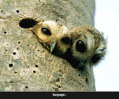 Piccoli cuccioli di gufo sbirciano dal loro nido