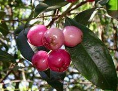 Aceima smeithii // (jan-mar) // Arvore de tronco reto, cilíndrico com galhos em espiral. Cresce até 8 m de altura, com copa piramidal, flores róseas agrupadas em cachos nascidos na axilas das folhas terminais.os frutos são consumidos in-natura, na forma de sucos ou licor.