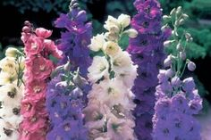 The Delphinium is the queen of the cottage garden. Graceful Gardens specializes in Delphiniums and we have all Delphinium varieties for you! Growing Flowers, Cut Flowers, Colorful Flowers, Planting Flowers, Beautiful Flowers, Flower Plants, Flower Gardening, Tall Flowers, Elegant Flowers