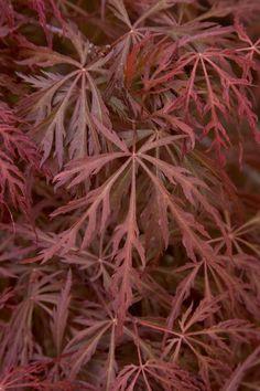 Garnet Japanese Maple Acer palmatum var. dissectum 'Garnet'