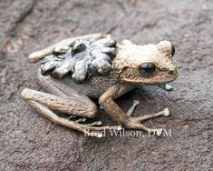 "Stefania ginesi, female carrying neonatal frogs, tepui ""B"", Canaima National? Funny Frogs, Cute Frogs, Reptiles And Amphibians, Mammals, Beautiful Creatures, Animals Beautiful, Frosch Illustration, Baby Animals, Cute Animals"