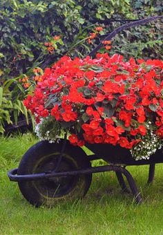 Wheelbarrow planter filled with flowers including red Begonias
