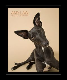 whippet pet photography portrait in Barnsley | Amy Law Photography
