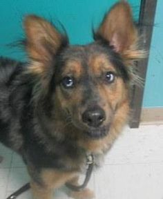 Bemo is an adoptable Australian Shepherd searching for a forever family near Taos, NM. Use Petfinder to find adoptable pets in your area.