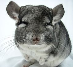 I love chinchillas! I knew Chuff, Puff, Huff, Fluff, Tuff