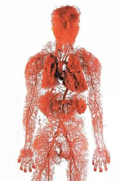 A picture depicting the human circulatory system which circulates about 5,6 litres of blood through the body 3 times in every minute. If all arteries, veins, and capillaries of the human circulatory system were laid end to end, the total length would be 60,000 miles, or 100,000 km. That's nearly two and a half times around the Earth!