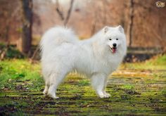 SAMOYED - Siberian The Most Loyal Dog Breeds • Page 39 of 42 • FRANK151