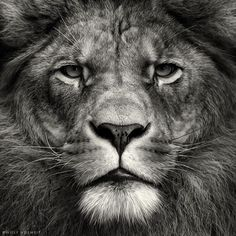 Black and White Photography Lion Images & Pictures - Findpik