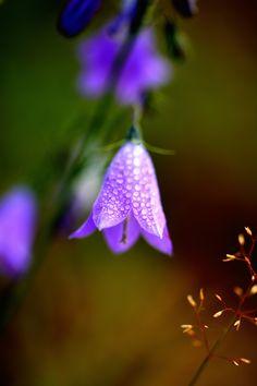 Carpathian harebell by Bogdan on Dandelion, Nature, Flowers, Plants, Gardening, Google, Shades, Naturaleza, Dandelions