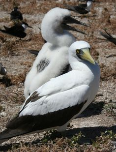 Masked Booby. (Photo: By Duncan Wright)   http://www.atlasobscura.com/articles/is-this-where-the-best-birds-in-the-world-live?utm_source=Atlas Obscura
