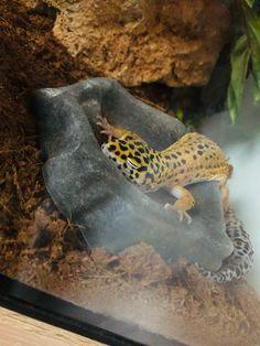 Leopard Gecko Cute, Leopard Gecko Habitat, Cute Gecko, Cute Reptiles, Reptiles And Amphibians, Cute Animal Drawings, Cute Animal Pictures, Funny Animal Memes, Funny Animals