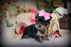 Some of the Tiniest, Most Beautiful Teacup Yorkie Puppies in the World! Teacup Yorkie and Small Toy Yorkies for Sale. See the Best! Micro Teacup Yorkie, Teacup Yorkie For Sale, Maltese Puppies For Sale, Cute Teacup Puppies, Yorkies For Sale, Yorkie Puppy For Sale, Super Cute Puppies, Cute Dogs And Puppies, Yorkie Puppies