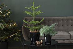 Slik unngår du at juletreet drysser Planter Pots, Garden, Plants, Interior Decorating, Christmas Decor, Garten, Gardens, Planters, Tuin
